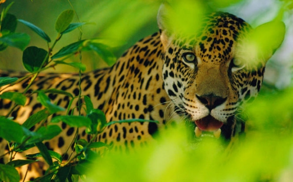 Encounters with the Jaguar