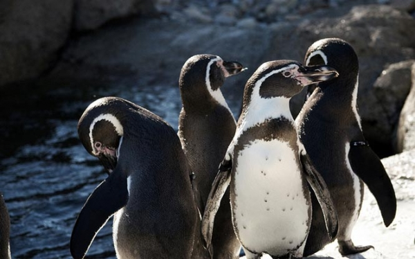 The Penguins of South America