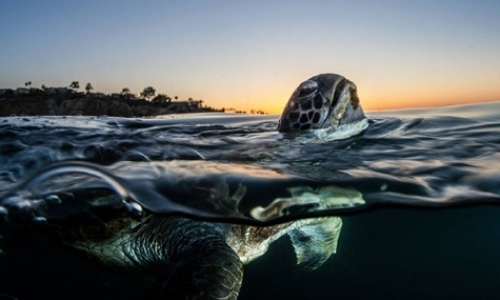 Research Assistant for Green Turtle Program