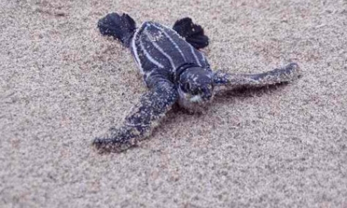 Leatherback Program Research Assistant