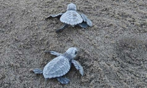 Sea Turtle Project Assistants
