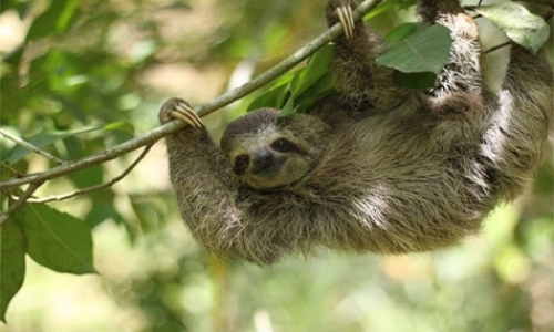 Sloth Husbandry Intern