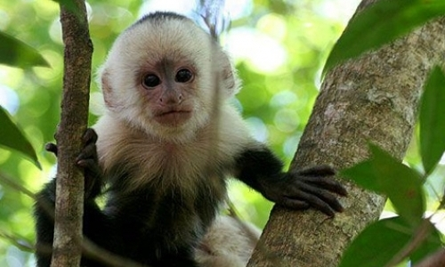 White-Faced Capuchin Research